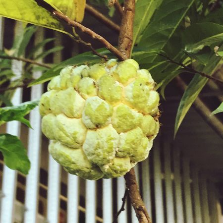 Fruit Sweet Srikaya Bogor, Indonesia