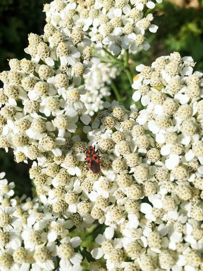 Insect Flower White Color Nature Fragility Animal Themes Animals In The Wild One Animal Bee Blossom No People Day Honey Bee Close-up Outdoors Freshness Beauty In Nature Springtime Flower Head Buzzing