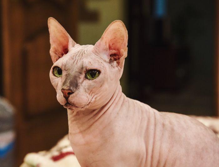 Cat Sphinx Model