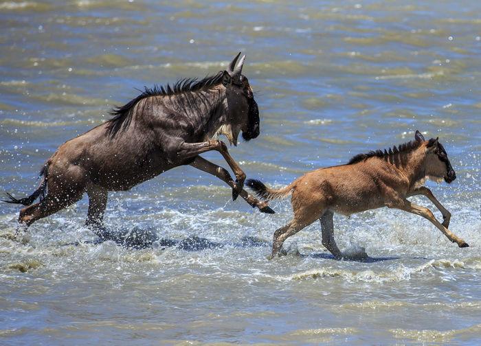 Wildebeest running in sea