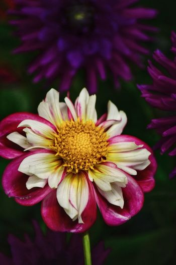 Dahlia Dahlias Flowering Plant Flower Petal Fragility Freshness Vulnerability  Flower Head Outdoors Pollen Pink Color Nature Growth Focus On Foreground No People Purple Yellow Close-up Beauty In Nature Inflorescence Plant