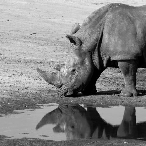 Rhinoceros standing by puddle
