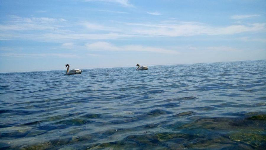 Mute Swans Swimming In Lake Against Sky