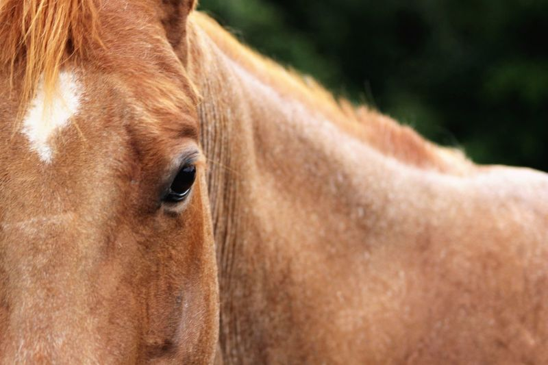 EyeEm Selects Brown Horse One Animal Mammal Domestic Animals Animal Themes Outdoors Close-up Day Nature No People Red Roan Quarter Horse