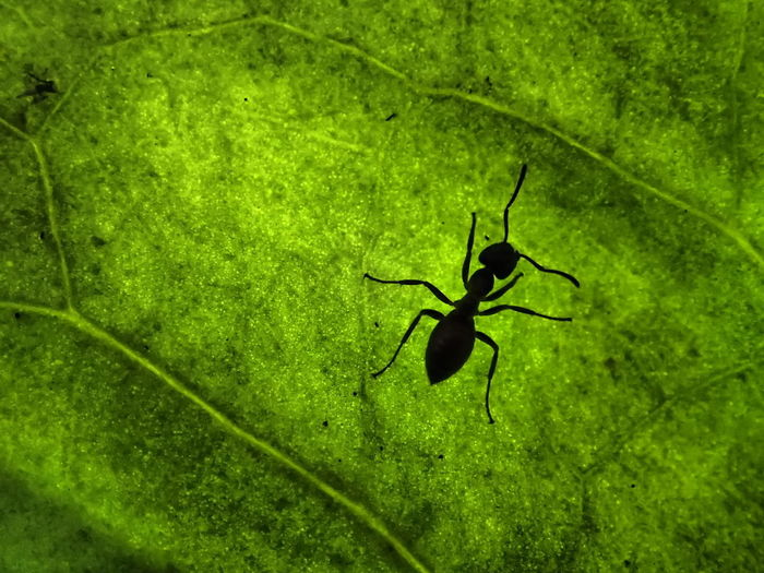 Animal Animal Themes Animal Wildlife Animals In The Wild Ant Close-up Green Color Insect Invertebrate Leaf Nature No People One Animal Outdoors Siluette