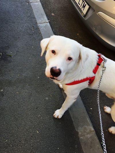 Labrador Dogo Argentino Pets