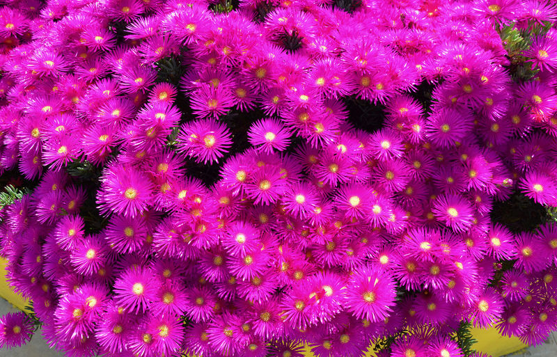 Mesembryanthemum. Abundance Backgrounds Beauty In Nature Blooming Blossom Botany Close-up EyeEm Nature Lover Flower Flower Head Fragility Freshness Full Frame Growing Growth In Bloom Nature Outdoors Petal Pink Pink Color Plant Purple Showcase April Tranquility