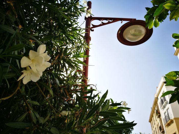 Flowers Flower Plants Farola Streetlight Bridge Puente Summerfeelings Summerend HUAEWI P9 Seville Sevilla Triana