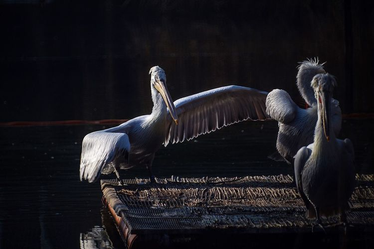 Pelican Birds Of EyeEm  Zoophotography Zoology Zoo Animal Themes Animals In The Wild Bird Animal Wildlife No People Lake Outdoors Day Pelican Nature Perching Spread Wings