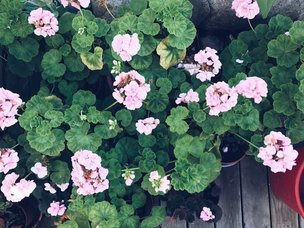 Leaf Plant Growth Flower Pink Color Green Color High Angle View Nature Blooming Hydrangea Fragility Petal Beauty In Nature Day Freshness No People Outdoors Flower Head Petunia Close-up Botany Flower Collection Pion Pink Flower Still Life