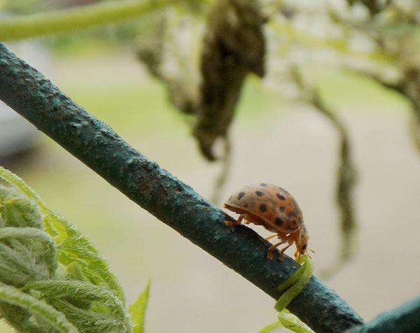 Close-up Maximum Closeness No People Outdoors Ladybug🐞 Ladybugmacro Ladybug Visit Growth Beauty In Nature