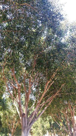 Artoftravel Bigtrees Begreen