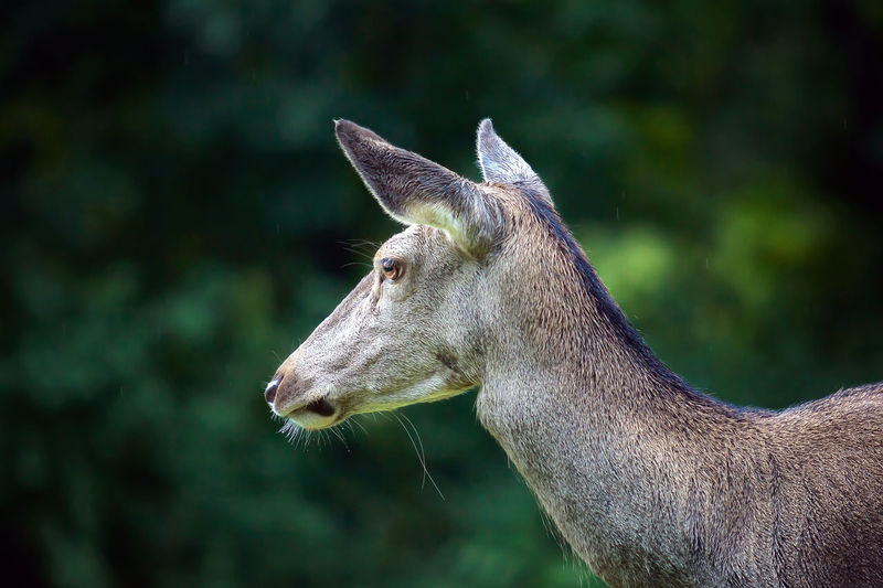 Close-up side view of a deer