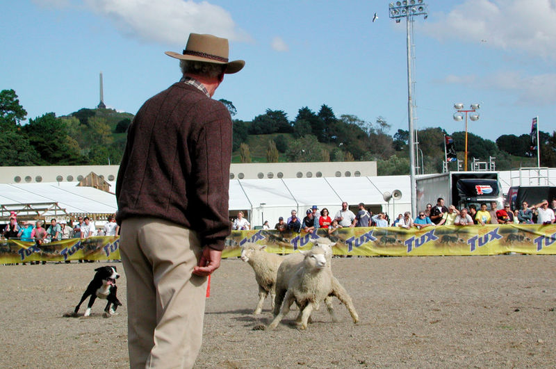 Farmer with sheep dog competing in round-up competition at Auckland Easter Show, New Zealand. Action Auckland Competitions Confusion Contests Easter Show Events Farm Animals Farmers Men In Hats New Zealand Obedience Rounding Up Sheep Shepherds Showgrounds Skills  Working Dogs