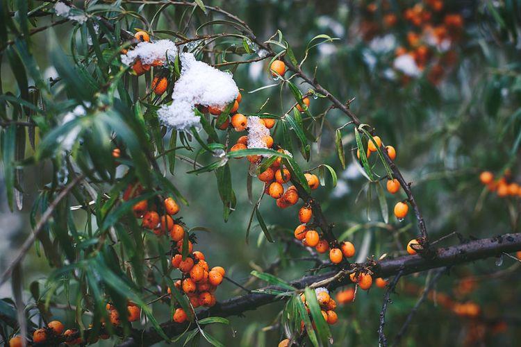 Close-Up Of Rowan Berries On Tree