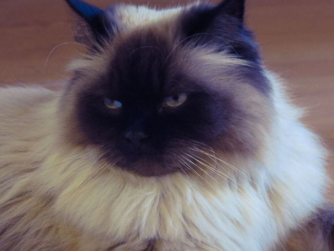 Animal Themes Animals Cat Cat Lovers Cats Cats Of EyeEm Close-up Day Domestic Animals Domestic Cat Feline Feline Portraits Grumpy Grumpy Face Grumpycat Indoors  Mammal No People One Animal Pets Siamese Cat