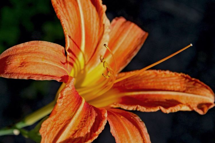 Flower Orange Color Petal Tiger Lily Outdoors Blooming No People Beauty In Nature Close-up