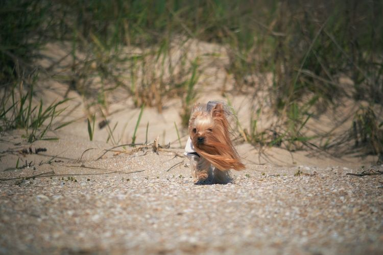 Yorkshire terrier walking at sandy beach