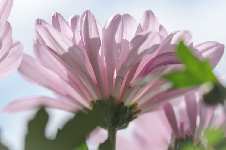 Close-up of pink flowering plant against clear sky