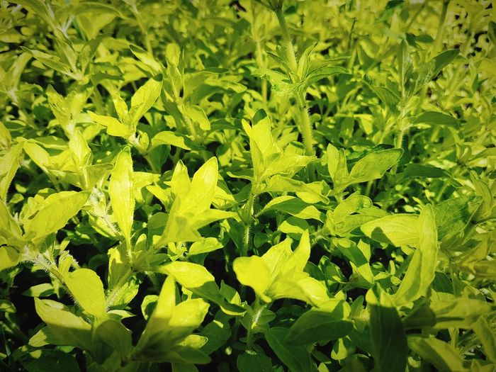 Herb leaf green oregano Green Color Nature Plant Leaf Full Frame No People Outdoors Day Freshness Growth Close-up Beauty In Nature Healthy Eating