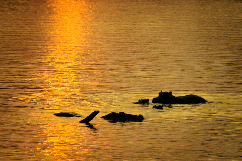 High angle view of silhouette hippopotamus family in river
