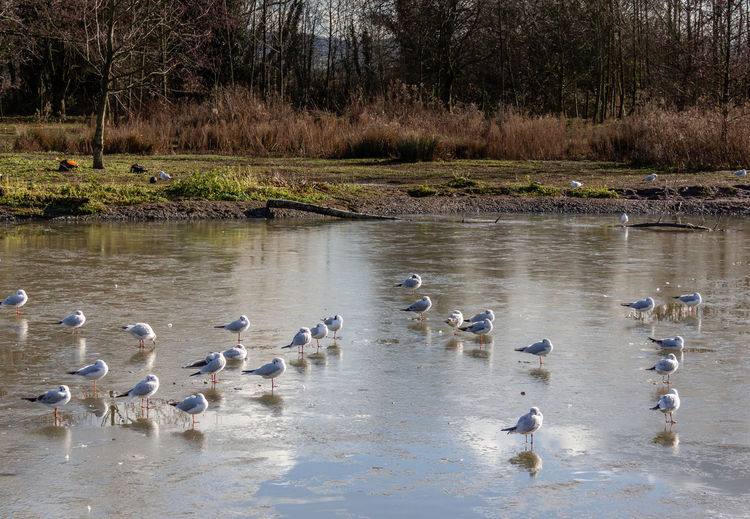Water Bird Group Of Animals Lake Beauty In Nature Outdoors Flock Of Birds Frozen Ice