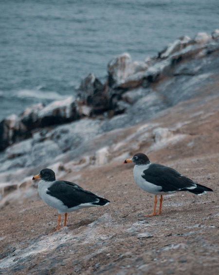 Found some pretty birdies on the little island right in front of Punta Hermosa - La Isla. South America Latin America Bird Animal Animal Themes Animal Wildlife Vertebrate Animals In The Wild Group Of Animals Rock Perching Two Animals No People Nature Outdoors Day Rock - Object Close-up Water Sea Shore Texture Pattern Pair Couple