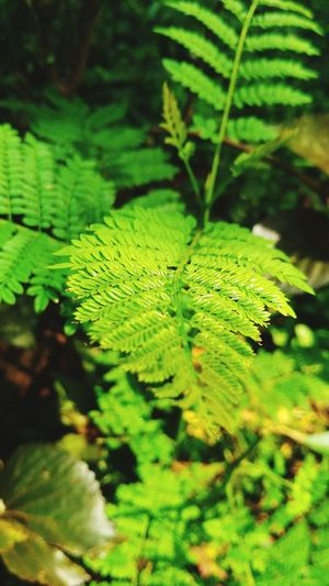 Leaf Green Color Nature Plant Day Fern Beauty In Nature No People Young Plant Close-up Serenity Tender Leaves