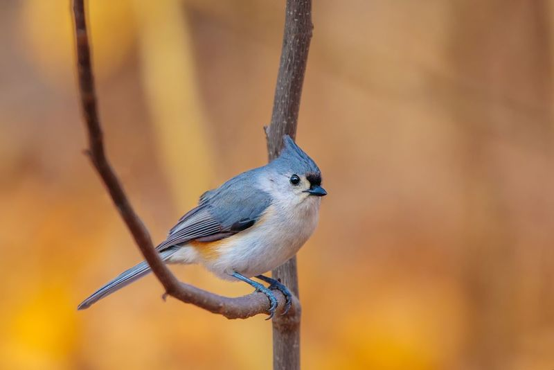 Titmouse Tufted Bird Animal Themes One Animal Animals In The Wild Perching Animal Wildlife Focus On Foreground Day Nature Outdoors Close-up Beauty In Nature