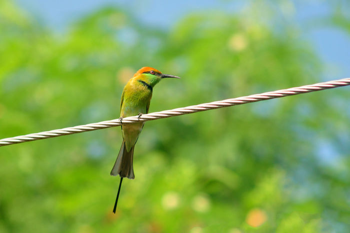 Green Bee-eater Animal Animal Themes Animal Wildlife Animals In The Wild Bird Cable Day Focus On Foreground Green Color Nature No People One Animal Outdoors Perching Vertebrate