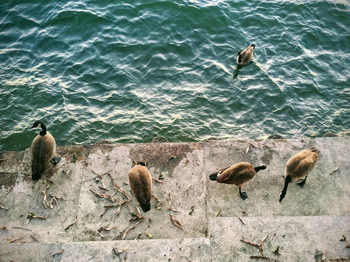 High angle view lakeside canadian geese eating on seawall.