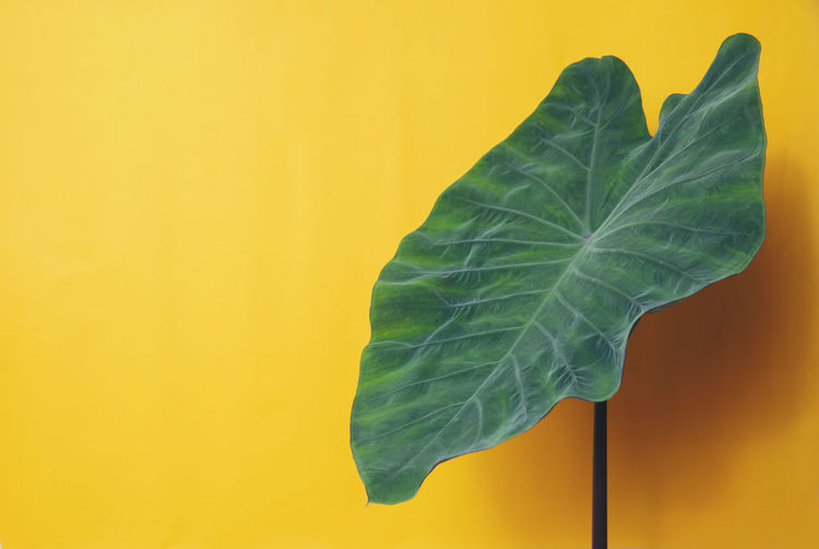 Leaf Plant Part Green Color Close-up Plant No People Copy Space Yellow Indoors  Growth Nature Freshness Colored Background Leaf Vein Beauty In Nature Studio Shot Wall - Building Feature Focus On Foreground Fragility
