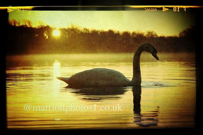 Springtime swan @nenepark @Peterborough Enjoying The Sun Springtime Swan Lake