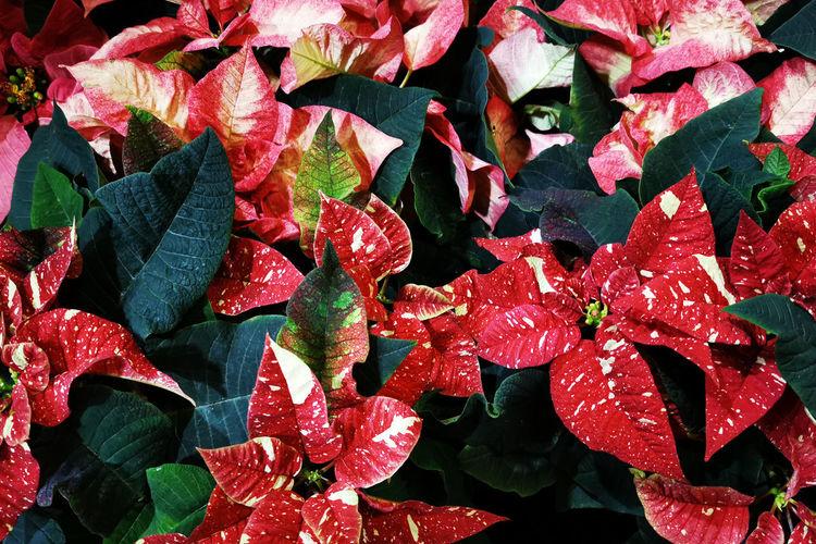Full frame shot of wet red leaves