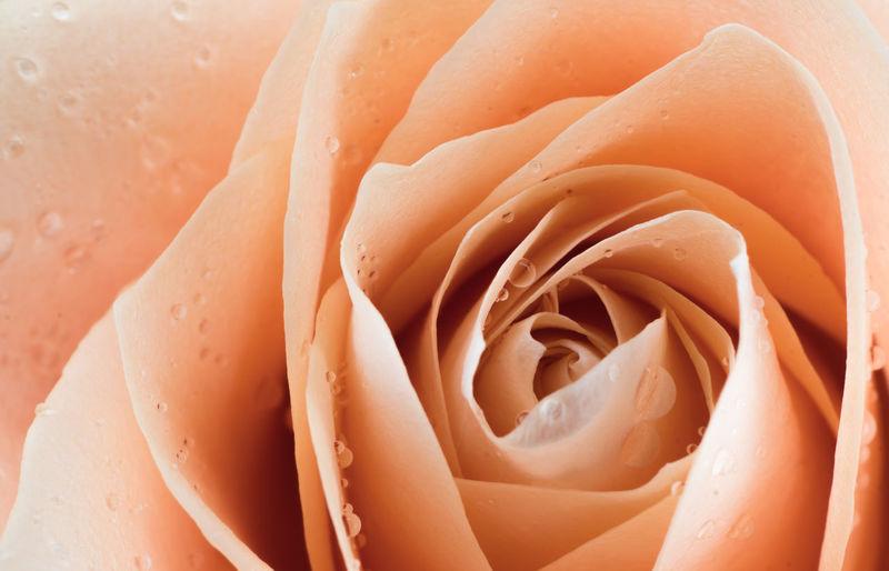 Close-up Rosé Freshness Full Frame Flower No People Rose - Flower Plant Flowering Plant Orange Color Beauty In Nature Backgrounds Petal Inflorescence Wet Fragility Vulnerability  Flower Head Nature Day
