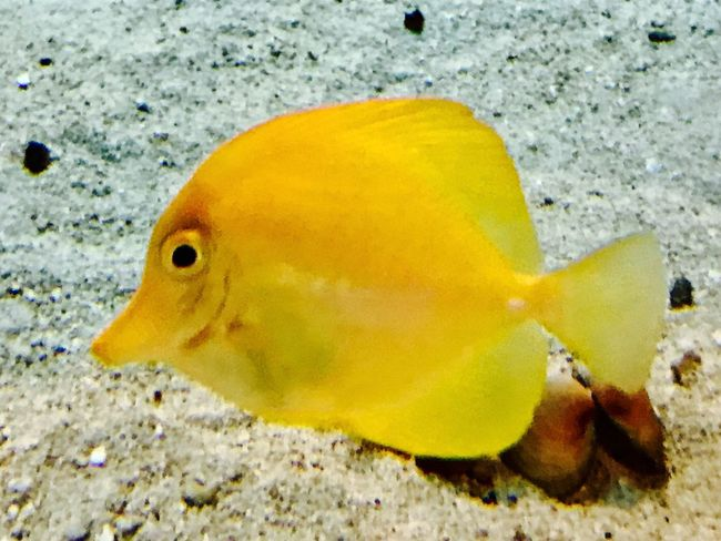100 Shades Of Yellow Yellow Fish Animals One Animal Animal Themes Animals In The Wild Sea Life Close-up Animal Wildlife Nature No People Sand Water Underwater Sea Day Outdoors Swimming UnderSea Beauty In Nature Beauty In Nature EyeEmNewHere The Week On EyeEm EyeEm Nature Lover