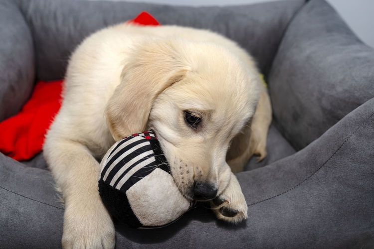 Close-up portrait of dog resting on sofa