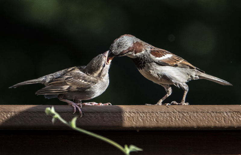 Feeding Animal Themes Animals In The Wild Animal Wildlife Animal Bird Group Of Animals Perching Two Animals Wood - Material No People Togetherness Sparrow Bird Feeding Young