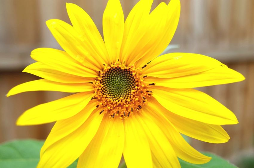 Sunflower. Open Edit Sunflower Flowers,Plants & Garden