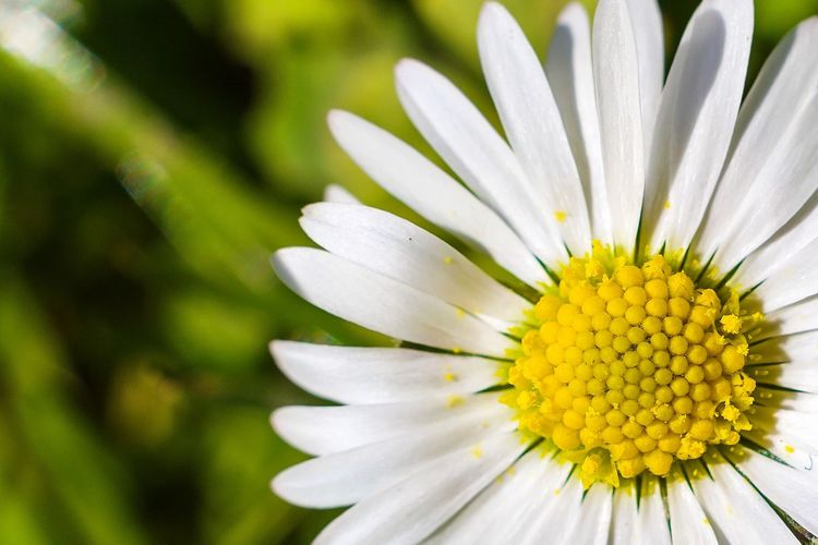 Close-up of white daisy flower