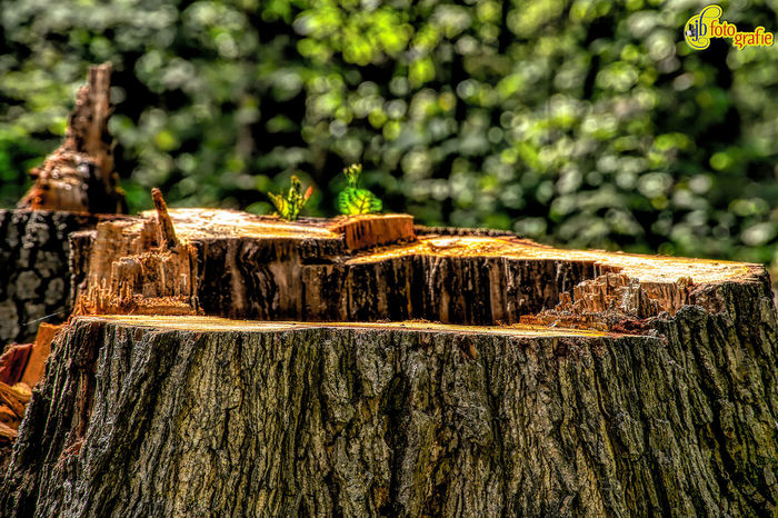 Baumstumpf Nature Tree Beauty In Nature Day Focus On Foreground Forest Nature Naturephotography No People Outdoors Rough Sunlight Textured  Tree Tree Stump Tree Trunk Wood - Material