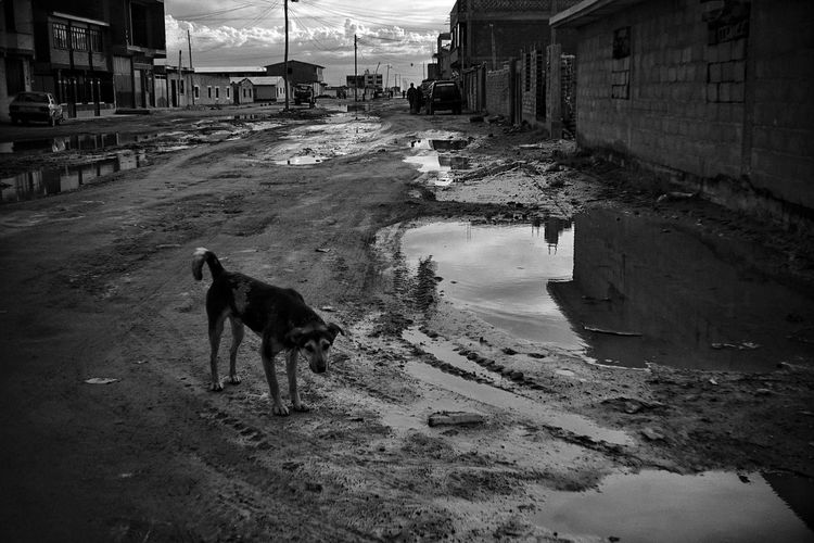Dog standing by puddle in city