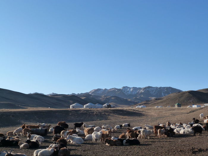 Goats and sheep on ground against clear blue sky