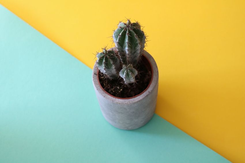 Small Tree cactus in a cement planter on an abstract diagonal color-clash background. Cacti Cactus Diagonal Abstract Cement Close-up Color Color Clash Colored Background Geometric Shape No People Planter Pot Small Still Life Stone Studio Shot Succulent Summer Tree Cactus Tropical Turquoise Yellow