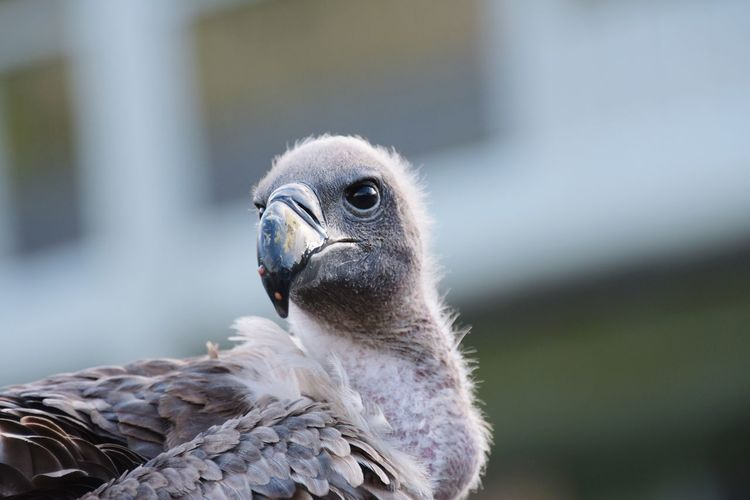 Close-up of vulture