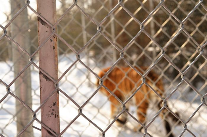 Chainlink Fence One Animal Security Safety Protection Metal Animal Themes Focus On Foreground Day Mammal No People Outdoors Close-up Domestic Animals Pets Nature Tiger EyeEm Best Edits The Week On EyeEm EyeEmBestPics Orange Tigers