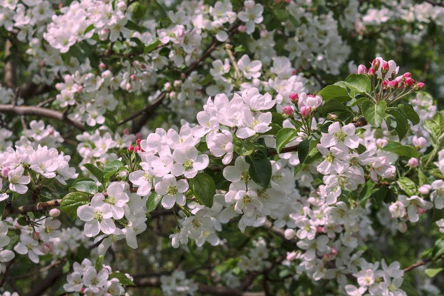 Gentle pink apple blossom. Natural flower background Floral Background Gently Horizontal Natural Apple Blossom Apple Tree Beauty In Nature Blooming Blossoming  Branch Flora Flower Flower Head Freshness Garden Gentle Growth Leaf Nature No People Outdoors Petal Pink Color Plant White