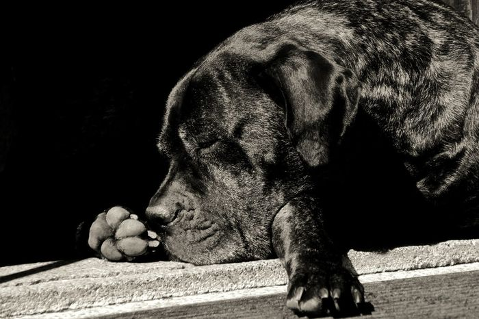 Napping Dogs Dog Mastiff Cane Corso Blackandwhite Sleeping Home Doorstep Shadow Animal Themes