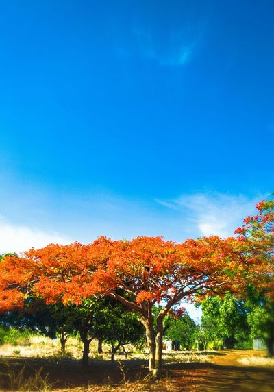 Autumn Tree Travel Tree Nature Sky Blue Beauty In Nature No People Growth Autumn Tranquility Clear Sky Day