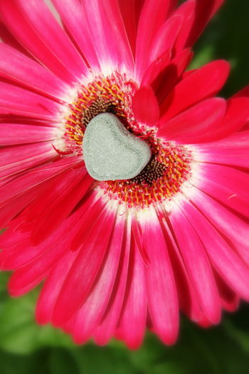Close-up of stone on pink flower